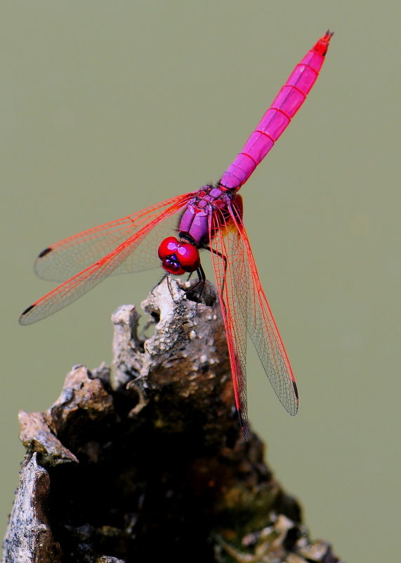 A pink dragonfly