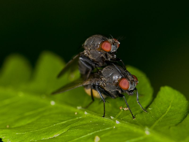 Two flies in action