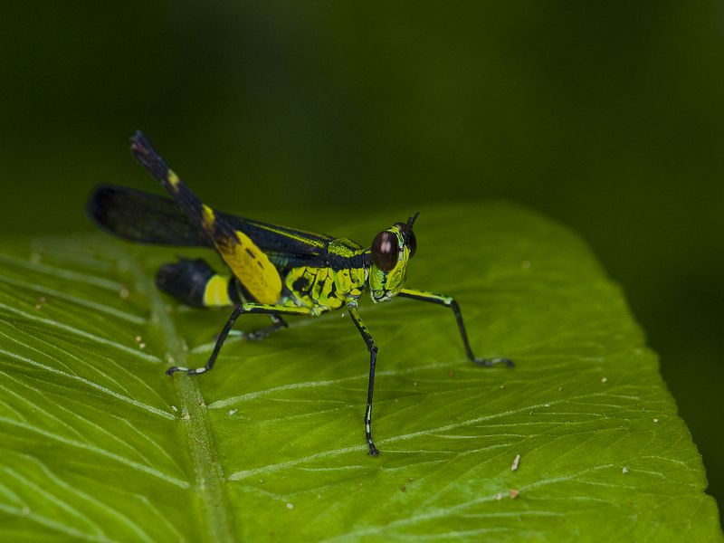 Mr Jiminy Cricket? - Animal & Insect Photos - Shutter Nick