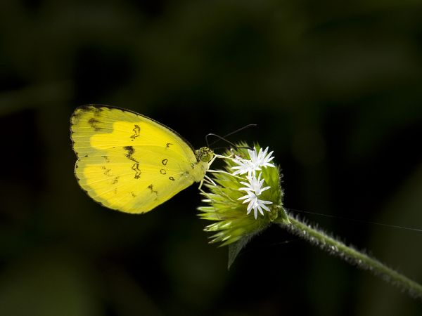 a common grass yellow