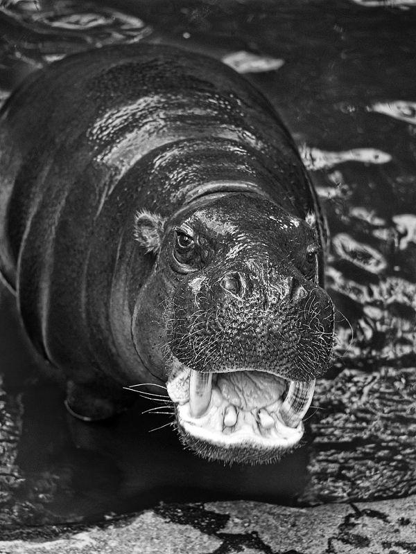 A pygmy hippo