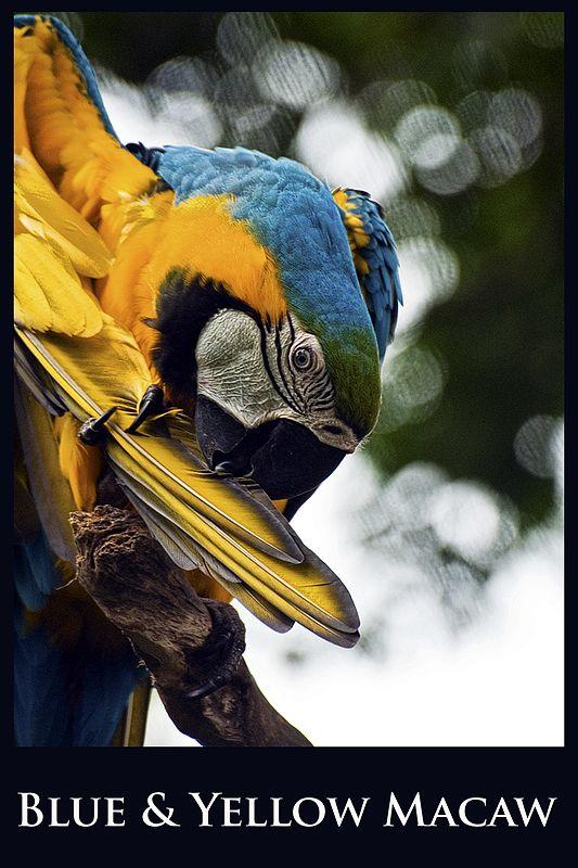 A macaw