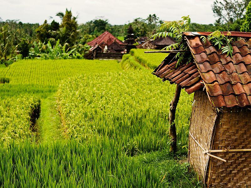 A paddy field