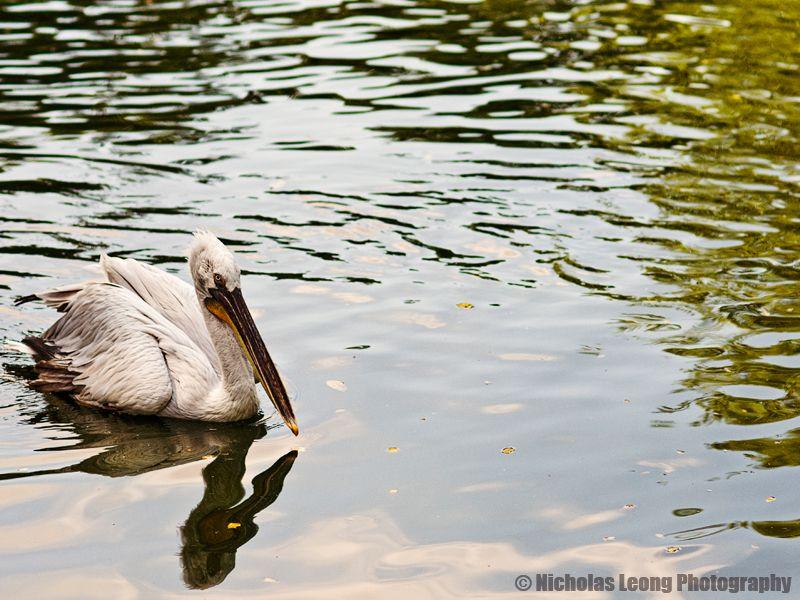 Another pelican