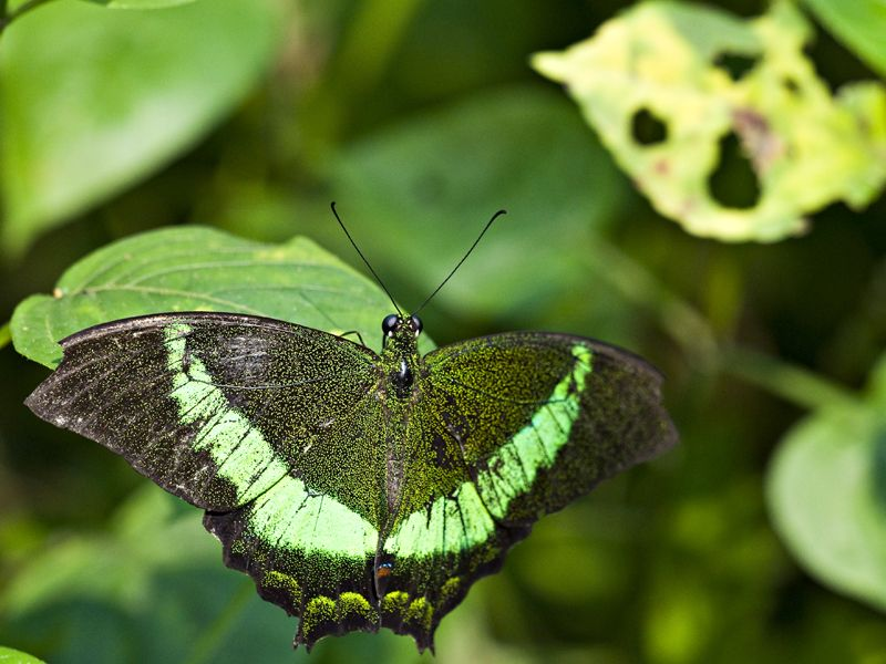A greenish butterfly