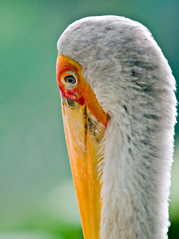 Painted bill stork