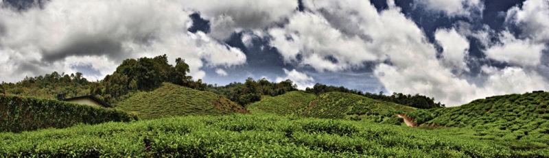 At tea plantation