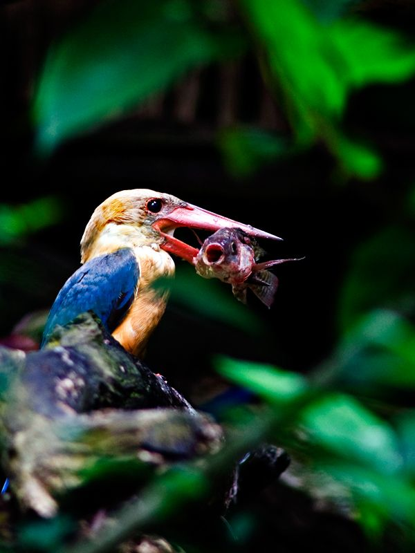 Kingfisher eating fish