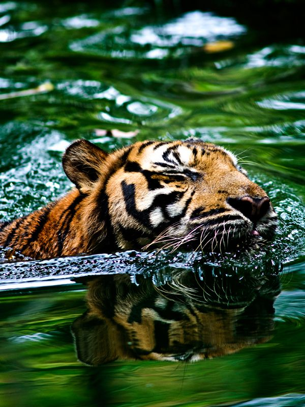 A tiger swimming