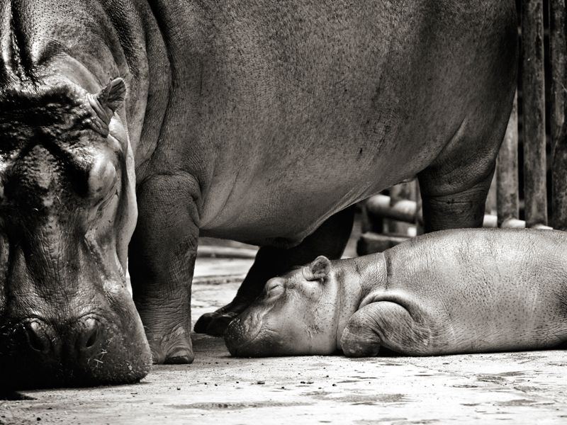 A mother hippo and child