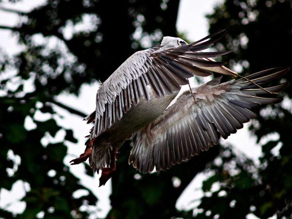 A pelican landing