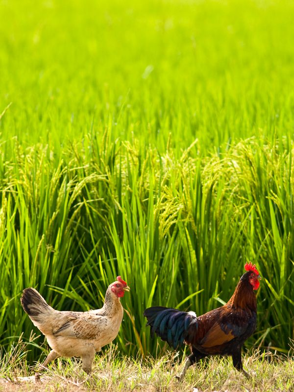 Chickens in a paddy field