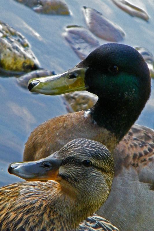 Close up of ducks on Calouste Gulbenkian's garden