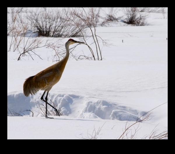 A sandhill crane in the snow