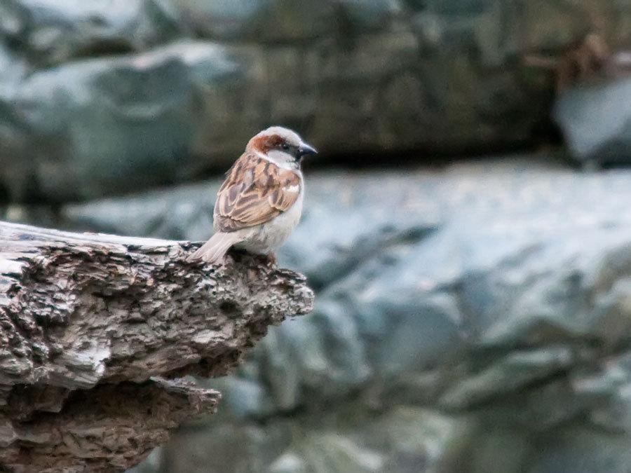 Bird , Sparrow