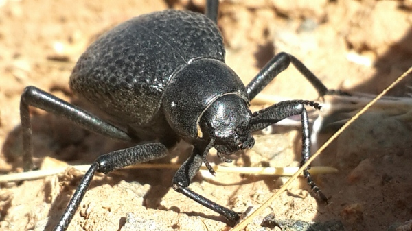 A Beetle which is living in the mountain