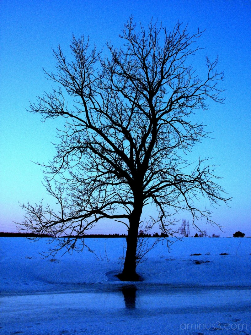 Solitary tree in winter.