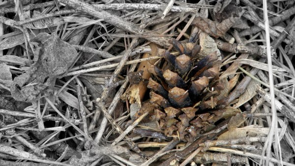 Forest debris focus on pine cone.