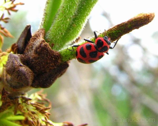 Ladybug on ash tree.