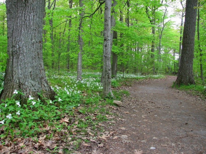 Path in woods flanked by trilliums.