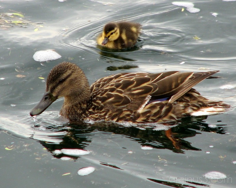 Mallard Mom with Duckling