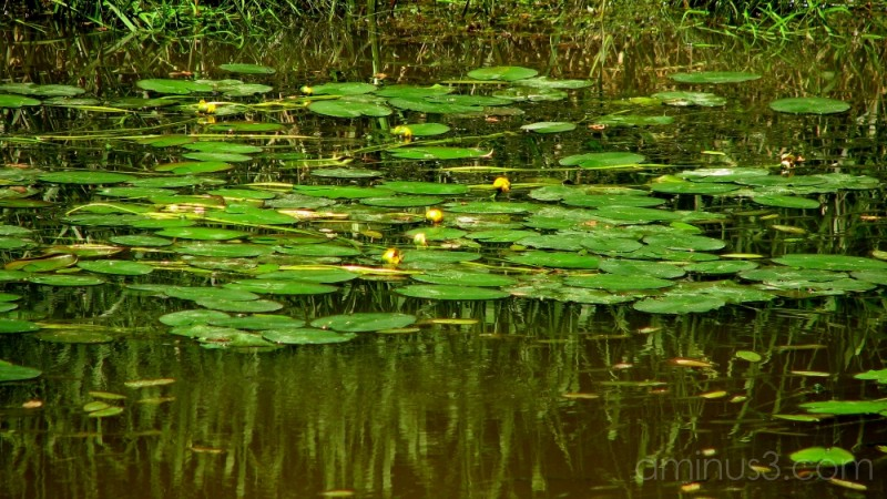 Water lillies in bloom.