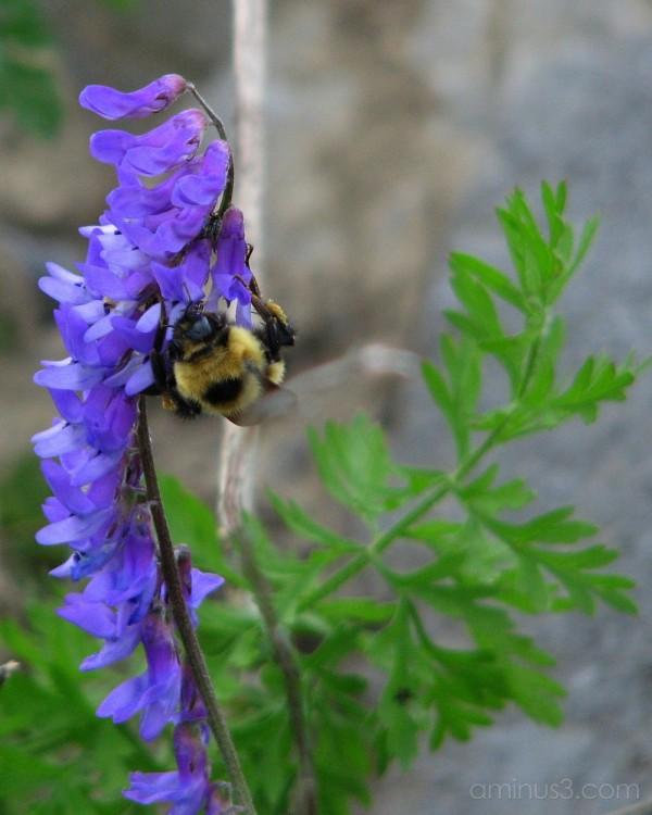 Bumblebee on sweet pea.
