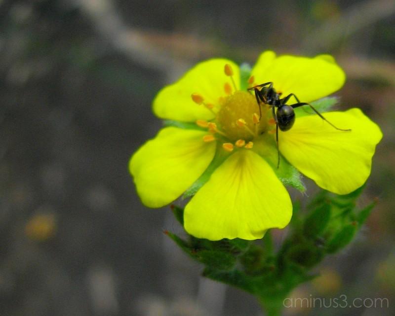 Ant on wildflower.