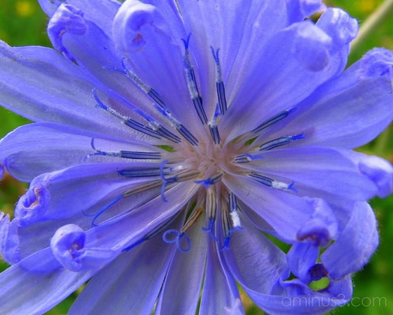 Blue wildflower.