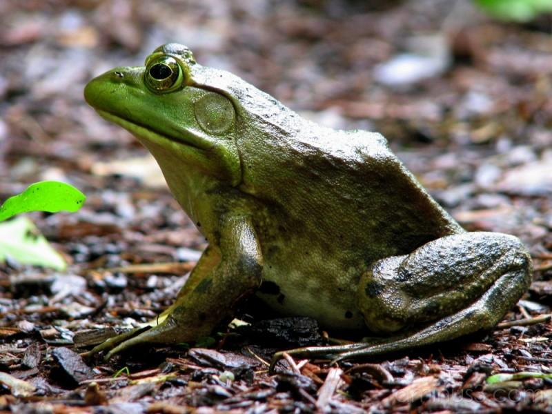 Bullfrog posing.