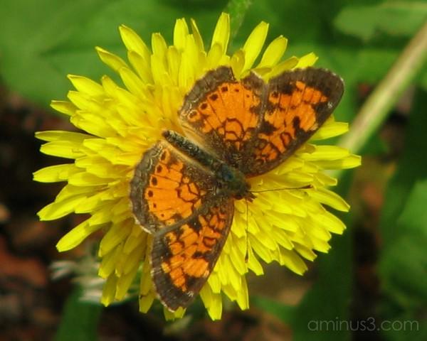 Butterfly on dandelion.