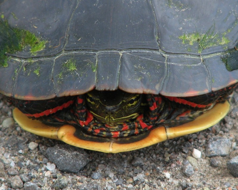 Painted turtle in shell