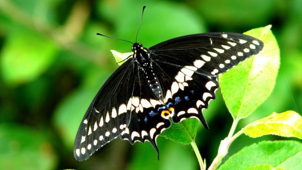 Swallowtail butterfly sitting on apple tree.