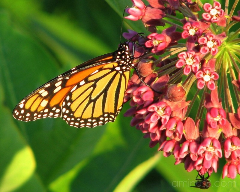 Monarch and fly share milkweed.