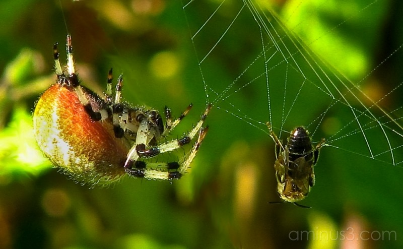 Spider looks at wasp for meal.