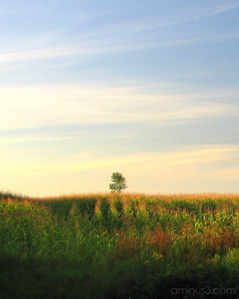 Solitary tree in field of corn