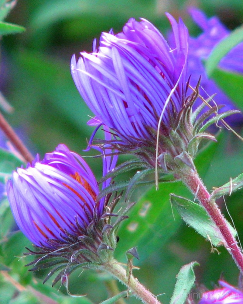 Purple wildflowers...