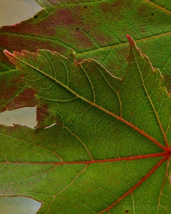 Close up of maple leaves.