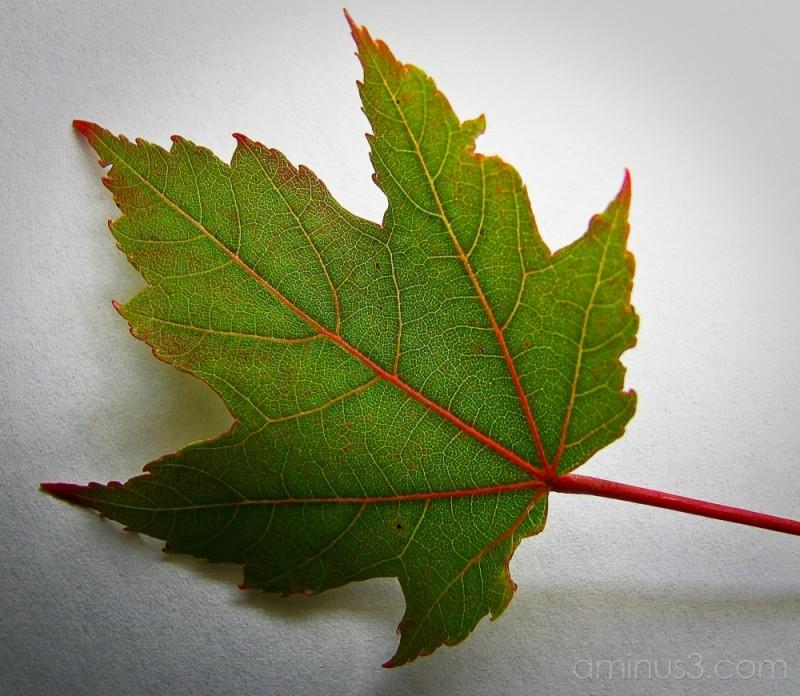 Malple leaves.