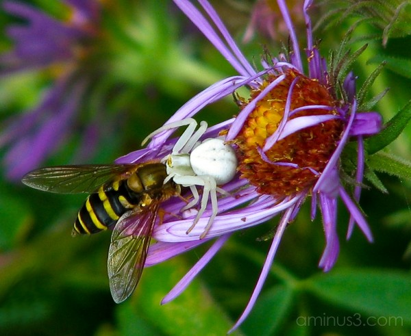 Crab spider dining on deer fly.