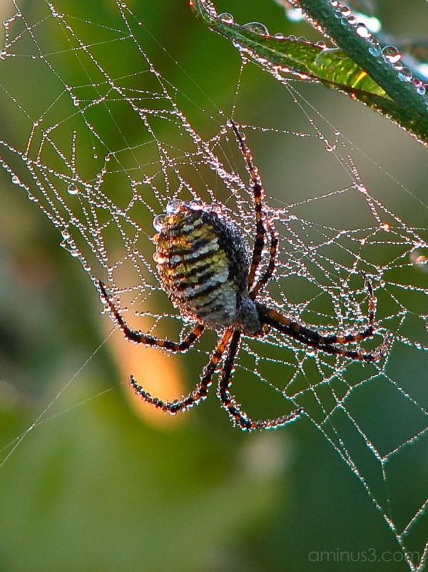 Garden spider covered in dew.