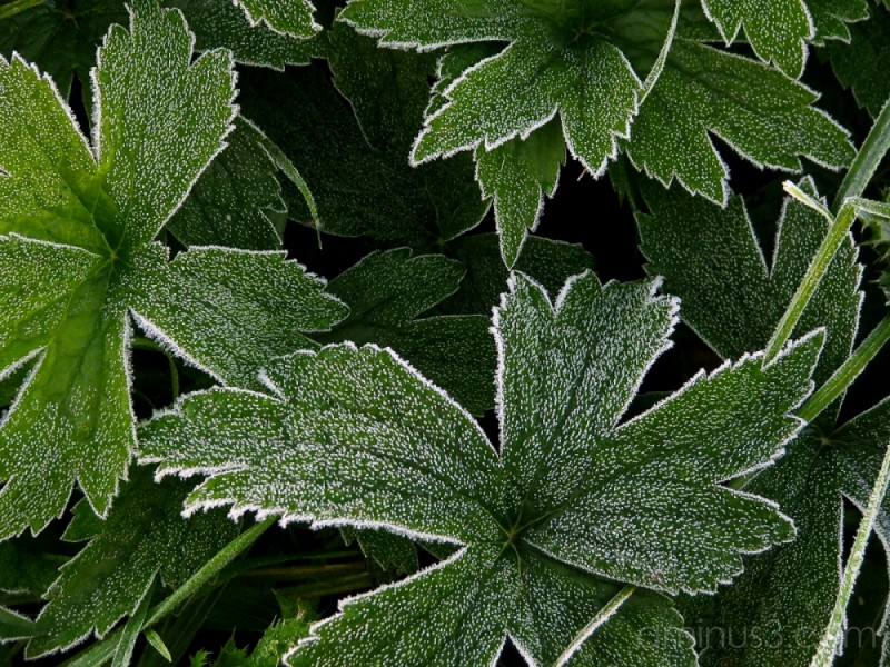 Frost covered plants.