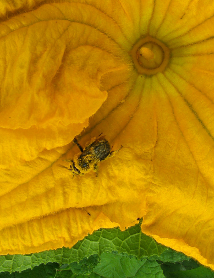Bee exits pumpkin blossom covered in pollen.