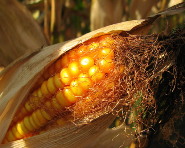 Ripened cob of corn.