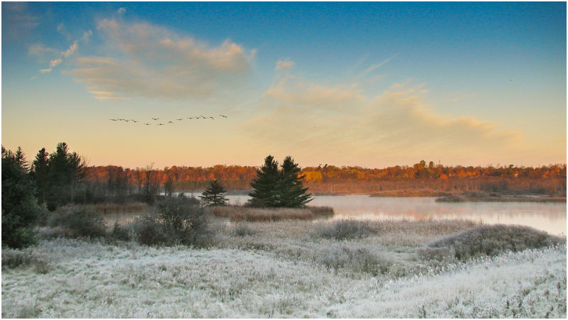 Canada Geese flying across morning landscape.