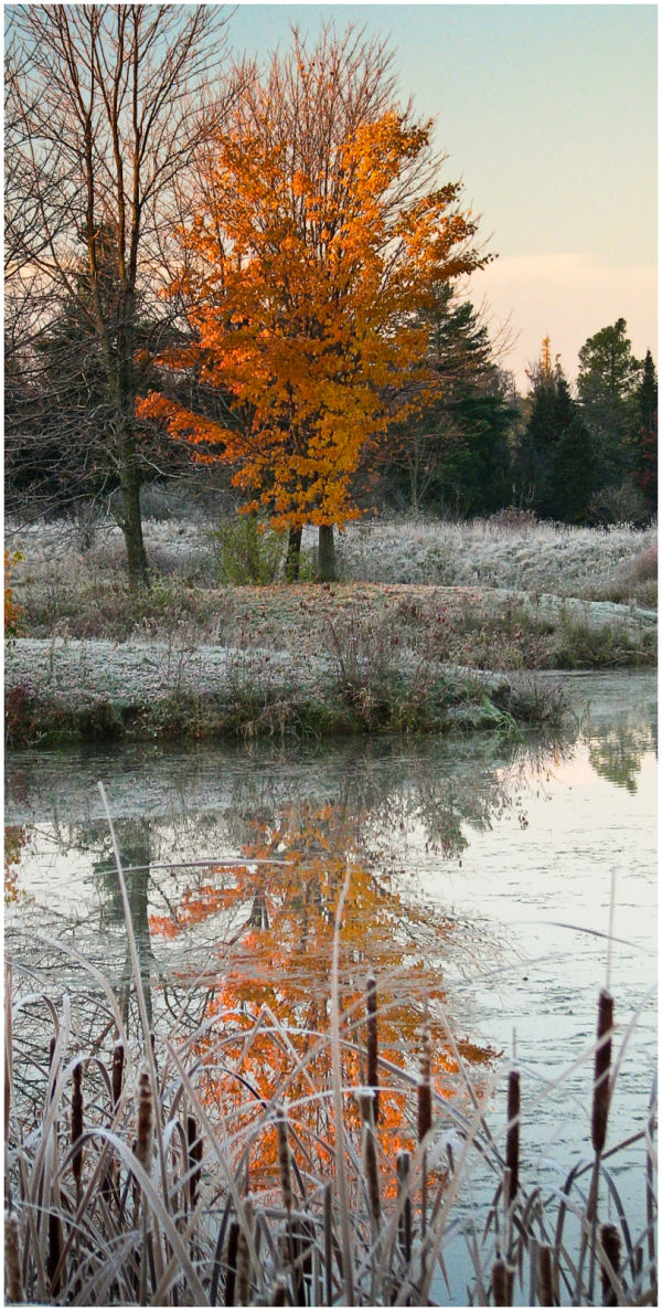 A frosted maple reflect in pond.