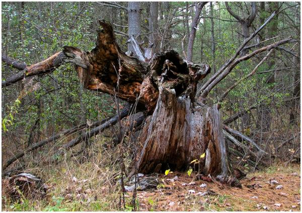 Fallen oak tree.