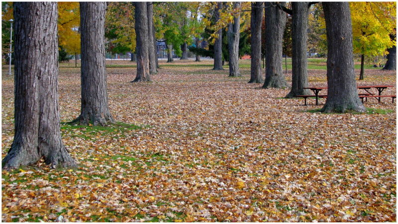 Two rows of maples knee deep in leaves.
