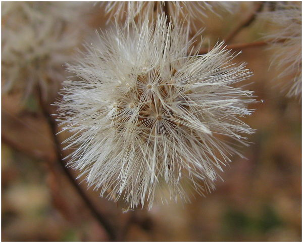 Wildflower gone to seed.