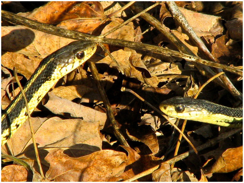 Two garter snakes cross paths in autumn leaves.
